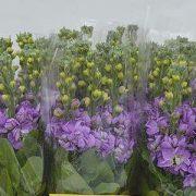 Matthiola Centum Lavender 4