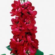Matthiola Centum Red 2