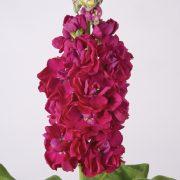 Matthiola Centum Red 3
