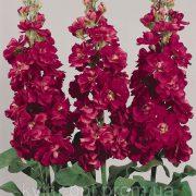 Matthiola Centum Red 4