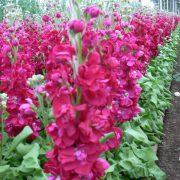 Matthiola Centum Red 5