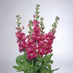 Matthiola Centum Rose 1