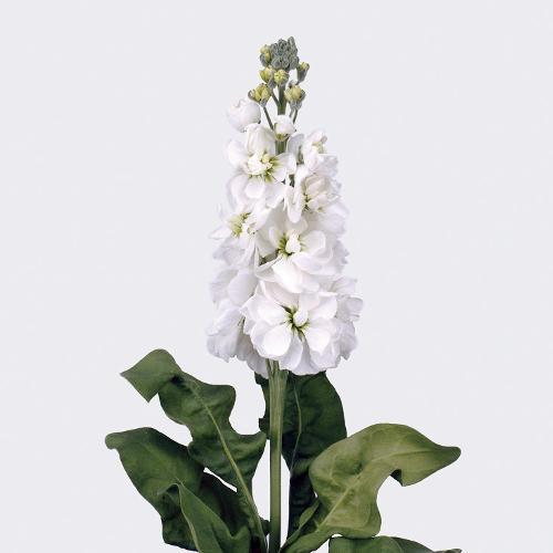 Matthiola Centum White 1