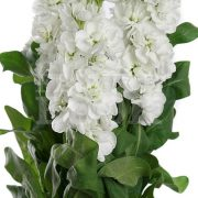 Matthiola Centum White 2