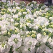 Matthiola Centum White 3