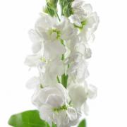 Matthiola Centum White 4