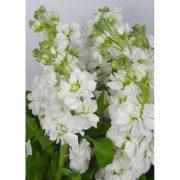 Matthiola Centum White 5
