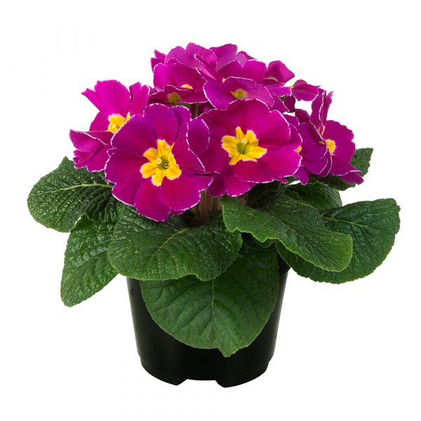 PRIMULA PARADISO EARLY VIOLET