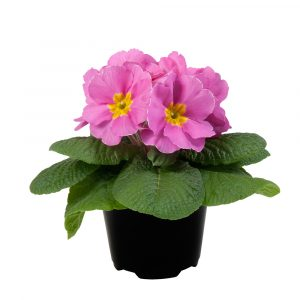 PRIMULA PARADISO LATE PINK