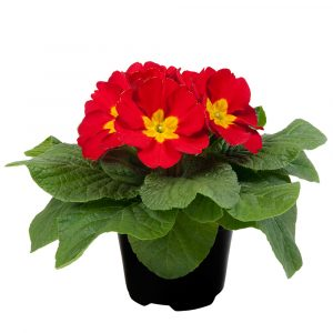 PRIMULA PARADISO LATE RED