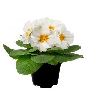 PRIMULA PARADISO LATE WHITE