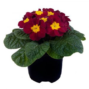 PRIMULA PARADISO MID WINE RED