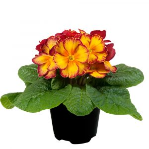 PRIMULA PARADISO MID YELLOW RED