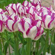 Affaire-Tulip