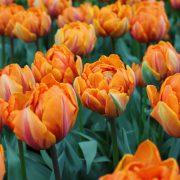 Orange Princess T