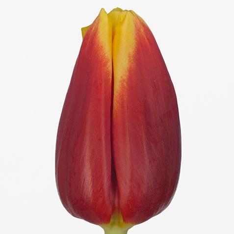 Tulips-Russia-42cm