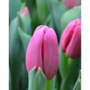 ais_pink-3405x330