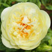 lemon__chiffon-1791-b_1_1