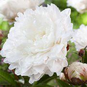paeonia-white-sarah-bernardt