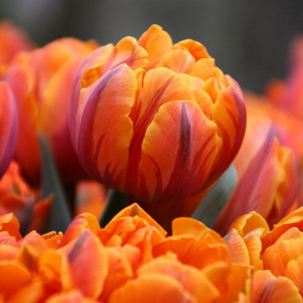 tulip-orange-princess