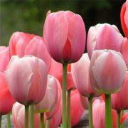 tulip-pink-impression-3