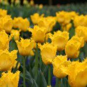 tulip-yellow-vallery-7_grande