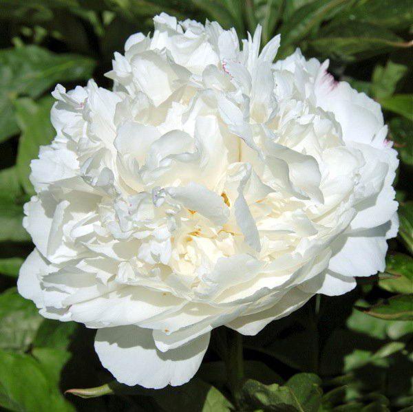 white sarah ber