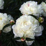 white sarah ber.3jpg