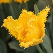 yellow-valery-tulip-768x768
