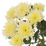 Черенок хризантемы неукорененный (Нидерланды)