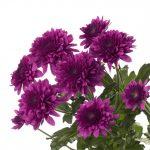 Черенок хризантемы укорененный (Польша)